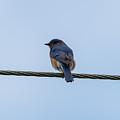 Eastern Bluebird by Jan M Holden