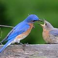 Eastern Bluebird by Peggy McDonald