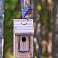 Eastern Bluebird Perched On Birdhouse 3 by Douglas Barnett