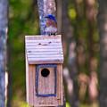 Eastern Bluebird Perched On Birdhouse 4 by Douglas Barnett