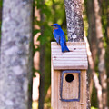 Eastern Bluebird Perched On Birdhouse by Douglas Barnett
