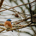 Eastern Bluebird by Steven Jones