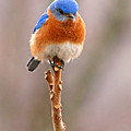 Eastern Bluebird Treetop Perch by Max Allen