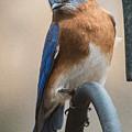 Eastern Bluebird by Walt Sterneman