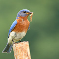 Eastern Bluebird With Caterpillar Lunch by Max Allen