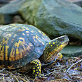 Eastern Box Turtle by Christina Rollo