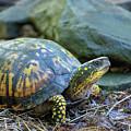Eastern Box Turtle by Christina Rollo
