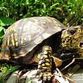 Eastern Box Turtle by Joshua Bales