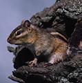 Eastern Chipmunk In Tree by Mark Wallner