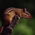 Eastern Chipmunk On Stump by Mark Wallner