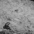 Eastern Collared Lizard 2 by Jeff Phillippi