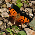 Eastern Comma Butterfly by Chris Flees