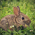 Eastern Cottontail by Cynthia Wolfe