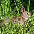 Eastern Cottontail Rabbit Dmam0034 by Gerry Gantt