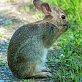 Eastern Cottontail Rabbit Washing Face Dmam0035 by Gerry Gantt
