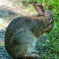Eastern Cottontail Rabbit Washing Face Dmam0036 by Gerry Gantt