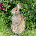 Eastern Cottontail by Ricky L Jones