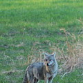 Eastern Coyote In Grass by Neal Eslinger