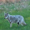 Eastern Coyote In Meadow   by Neal Eslinger