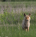 Eastern Coyote by Phillip McNeil
