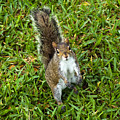 Eastern Gray Squirrel by Allan  Hughes