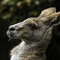Eastern Grey Kangaroo by Levana Sietses
