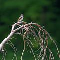 Eastern Kingbird 3 by Bill Wakeley