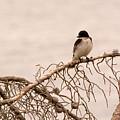 Eastern Kingbird by Linda Kerkau