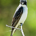 Eastern Kingbird Stare by Mike Dawson