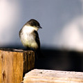 Eastern Phoebe by Lana Trussell