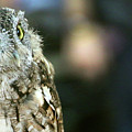 Eastern Screech Owl-6945 by Gary Gingrich Galleries