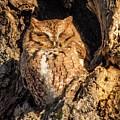 Eastern Screech Owl by Nancy Wilkinson