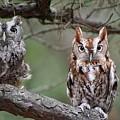 Eastern Screech Owls 424 by Joyce StJames