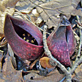 Eastern Skunk Cabbage Spathes - Symplocarpus Foetidus by Mother Nature