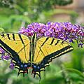 Eastern Swallowtail by James Steele