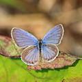 Eastern Tailed Blue by John Burk