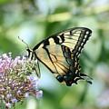 Eastern Tiger Swallowtail 2 by Tammy Finnegan