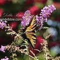 Eastern Tiger Swallowtail Papilio Glaucus8834 by Captain Debbie Ritter