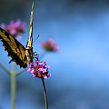 Eastern Tiger Swallowtail And Blue Sky by Karen Adams