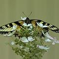 Eastern Tiger Swallowtail Butterfly by Allen Nice-Webb
