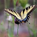 Eastern Tiger Swallowtail Butterfly In Garden 2016 by Karen Adams