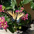 Eastern Tiger Swallowtail Butterfly by Joyce StJames
