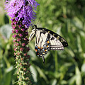 Eastern Tiger Swallowtail Butterfly by Judy Whitton