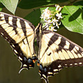 Eastern Tiger Swallowtail  Butterfly Wingspan by Leslie Montgomery