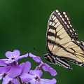 Eastern Tiger Swallowtail by Darleen Stry