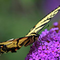 Eastern Tiger Swallowtail by Juergen Roth