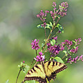 Eastern Tiger Swallowtail No. 4 by Jeanne OConnor