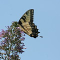 Eastern Tiger Swallowtail by Tammy Finnegan