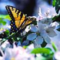 Eastern Tiger Swallowtail by Thomas R Fletcher