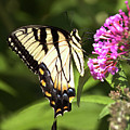 Eastern Triger Swallowtail by Eric Noa